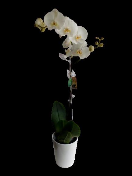 ορχιδέα λευκή