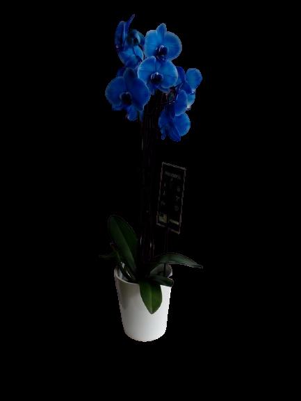 Ορχιδέα μπλε