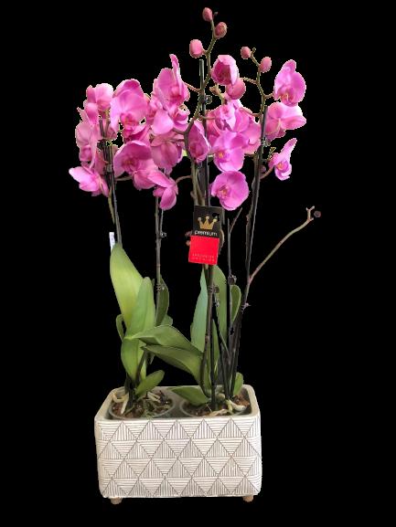 orchid pink phalaenopsis